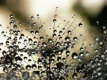 семя одуванчика влажное стоковые изображения rf