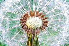 семя одуванчика головное Стоковое Изображение