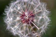 семя одуванчика головное Стоковое Фото