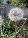 семя одуванчика головное Стоковые Фото