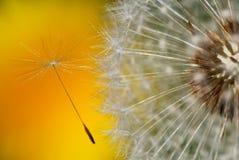 семя одуванчика Стоковая Фотография RF