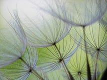 семя одуванчика стоковые изображения
