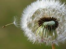 семя одуванчика Стоковое Изображение RF
