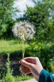 Семя одуванчика в руке Стоковая Фотография