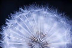 семя одуванчика головное Стоковое Изображение RF