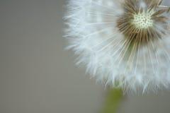 семя одуванчика головное Стоковая Фотография RF