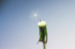 Семя одуванчика крупного плана последнее Стоковая Фотография RF
