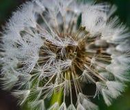Семя одуванчика с падениями воды Стоковые Фото