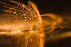 Семя одуванчика с waterdrops и отражениями Стоковые Изображения RF