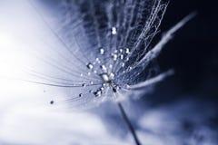 Семя одуванчика с waterdrops и отражениями Стоковая Фотография