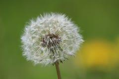 семя одуванчика Стоковое фото RF