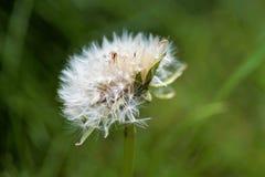 семя одуванчика Стоковое Фото