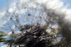 семя одуванчика Стоковая Фотография