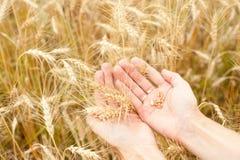 Семя пшеницы Стоковые Фото