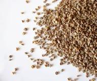 семя сельдерея Стоковое Фото