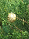 семя стручка кипариса Стоковые Фотографии RF