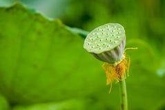 семя стручка лотоса Стоковая Фотография RF
