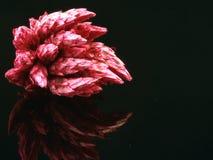 семя стручка Стоковые Фотографии RF