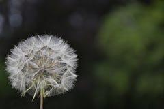 семя шарика Стоковое фото RF