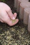 Семя 04 травы Стоковые Изображения