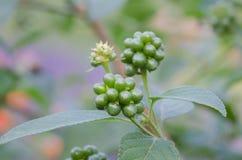Семя camara Lantana стоковые фотографии rf