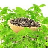 Семя Chia в деревянной ложке с заводом chia в чисто белой предпосылке Стоковая Фотография RF