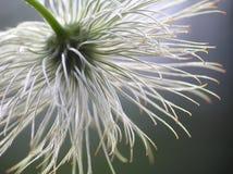 семя clematis Стоковые Изображения