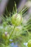 семя nigella damascena головное Стоковое Изображение RF
