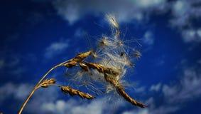 Семя Thistel Стоковое Изображение RF