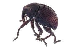 Сем-подавая истинный жук долгоносика стоковое изображение