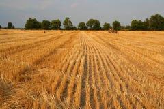 сено поля золотистое Стоковые Фото