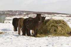 Сено подавая для исландских лошадей в зиме Стоковые Фотографии RF