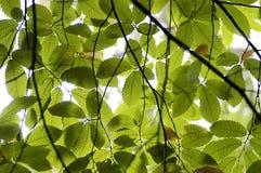 сень бука Стоковая Фотография