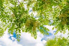 Сень дерева цветения весны против голубого неба с облаками, лета Стоковое Изображение