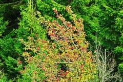 Сень дерева aucuparia, рябины или гор-золы рябины с красным цветом приносить против елевых деревьев Крона дерева рябины Стоковые Изображения