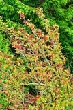 Сень дерева aucuparia, рябины или гор-золы рябины с красным цветом приносить против елевых деревьев Крона дерева рябины Стоковые Изображения RF