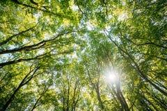 Сень древесин деревьев лиственного леса лета Нижний взгляд широкоформатный Стоковое Фото