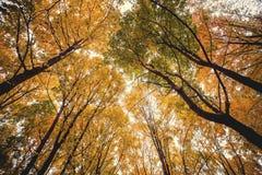 Сень дерева в лесе бука осени Стоковое Изображение RF