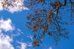 Сень дерева против белых облаков и сини стоковое изображение rf