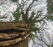 Сень дуба в зиме Стоковое Изображение