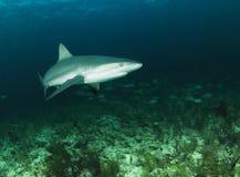 серая акула рифа стоковые фото