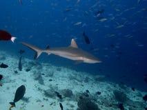 Серая акула рифа Стоковое фото RF