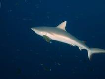 Серая акула рифа Стоковые Фотографии RF