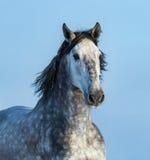 Серая андалузская лошадь Портрет испанской лошади Стоковое Фото