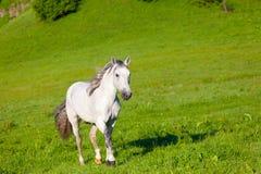 Серая арабская лошадь Стоковое Изображение