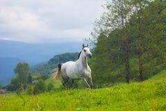Серая арабская лошадь Стоковое Фото