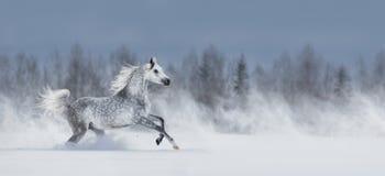 Серая аравийская лошадь скача галопом через снежное поле стоковые изображения rf