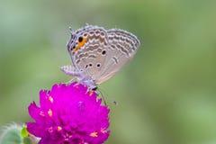 Серая бабочка на фиолетовом цветке Стоковое Изображение RF