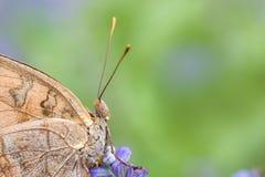Серая бабочка на фиолетовом цветке Стоковые Изображения RF
