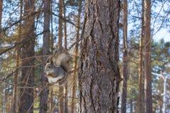 Серая белка льнет к хоботу сосны в парке России южном Ural зимы стоковое изображение rf